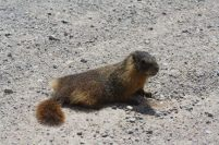 Marmot at Great Basin Nat'l Park